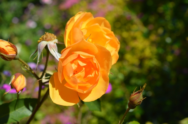 Buttercup Rose