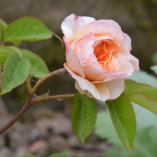 Port Sunlight rose